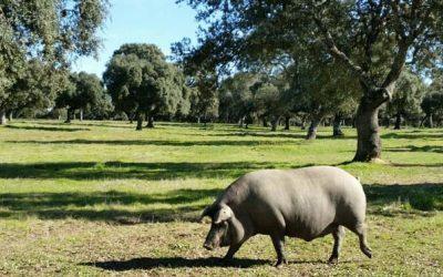 Mitos y Leyendas. El jamón ibérico de cerdo hembra es mejor que el de cerdo macho
