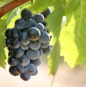 cosecha uva blanca negra vino