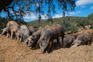 dehesas cerdo manchadp jabugo